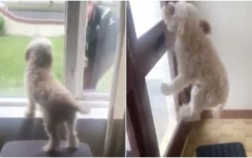 Dog's reaction to his owner coming home is proof that we don't deserve them