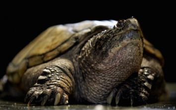 US teacher charged after feeding puppy to turtle in front of students