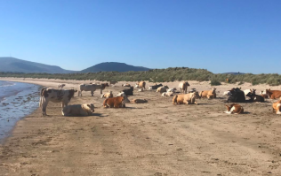 The weather is so warm that there are even cows sunbathing on a beach in Sligo