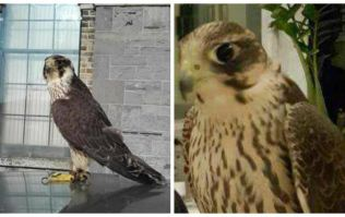 PICS: Family from Longford need help finding their lost pet falcon