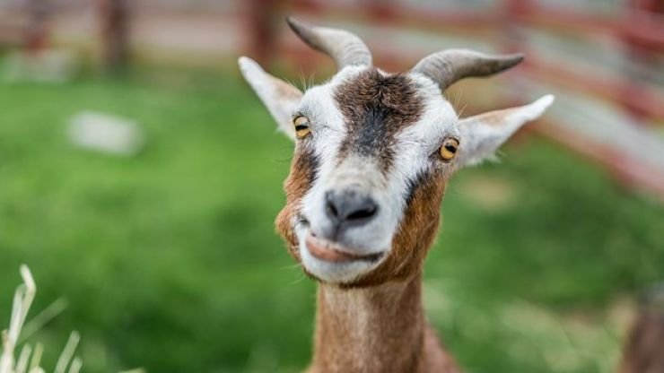 """They're eating everything in sight"" 100 goats run riot in American neighbourhood"