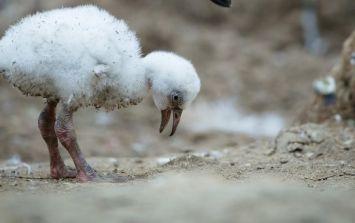 PICS: 9 Chilean flamingo chicks hatch at Dublin Zoo