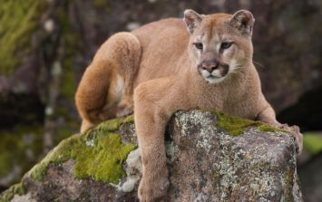 Locals claim to have spotted a puma on the loose in Cork