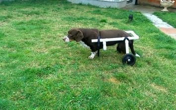 Couple take care of a paralysed dog for a few weeks, build him a wheelchair so he can walk again