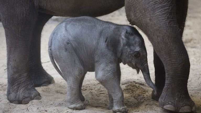 WATCH: Footage of six baby elephants escaping a mud pit is bound to make you smile