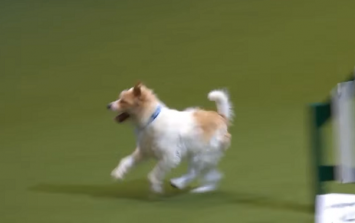 WATCH: This Jack Russell terrier at Crufts will immediately make your day 87% better