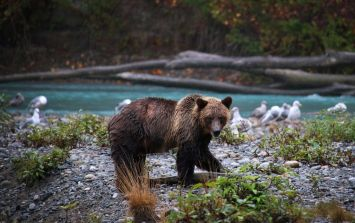 US hunter fighting for his life after bear he shot landed on him