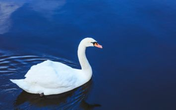 PIC: Swan in Wexford stops traffic to hug cars after its mate is killed