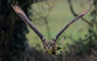An eagle owl capable of eating a fully grown deer has gone missing in Kildare