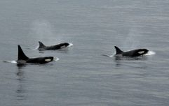 Rare killer whale spotted off the coast of Cork