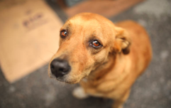 """Study finds dogs have developed """"puppy dog eyes"""" specifically to create sympathy in humans"""