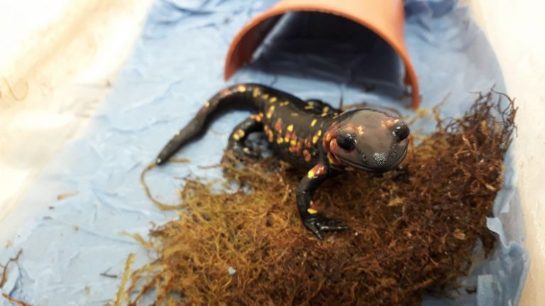 Eight rare salamanders and a natterjack toad seized in Ireland