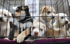 725 dogs put to sleep in Irish pounds last year