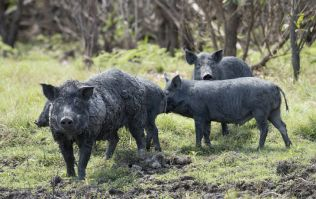"Here's where all these jokes about ""30-50 feral hogs"" came from"