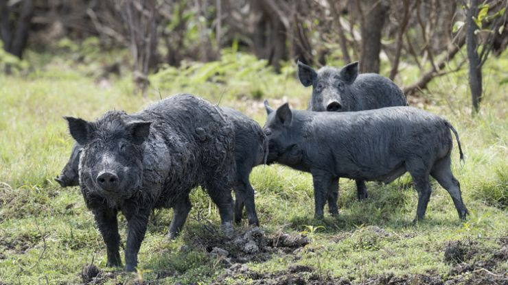 """Here's where all these jokes about """"30-50 feral hogs"""" came from"""