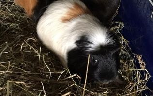 Four guinea pigs and a goldfish found abandoned in apartment in Cork