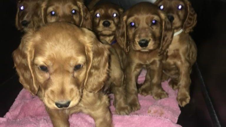 Six puppies found hidden in van at Dublin Port