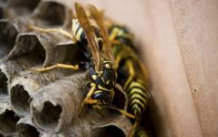 "Public warned to be wary of ""aggressive"" wasps following highest number of wasp callouts in Ireland in six years"