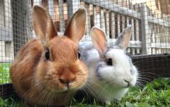 Presence of deadly rabbit and hare disease confirmed in a number of counties in Ireland