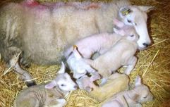 PICS: Farmer in Mayo shocked as ewe gives birth to five lambs