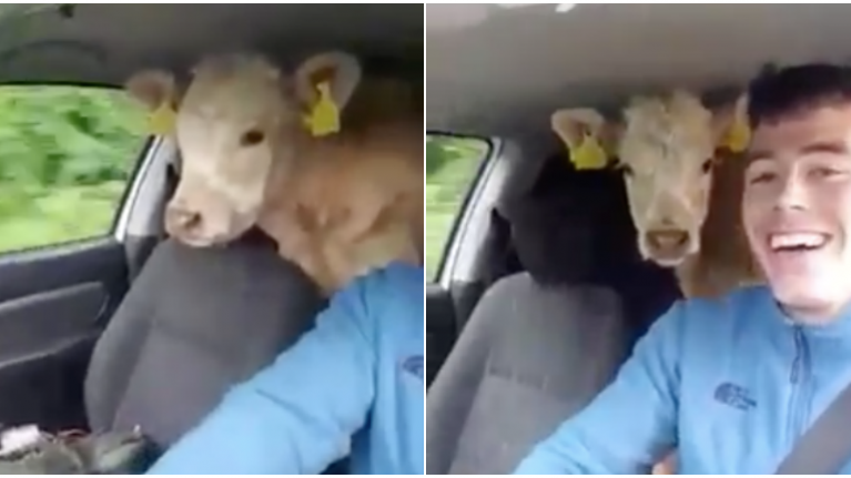 WATCH: This Kerry farmer wasn't going to let a lack of trailer stop him moving cattle