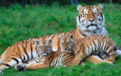 Dublin zoo welcomes two new Amur tiger cubs born to first-time parents