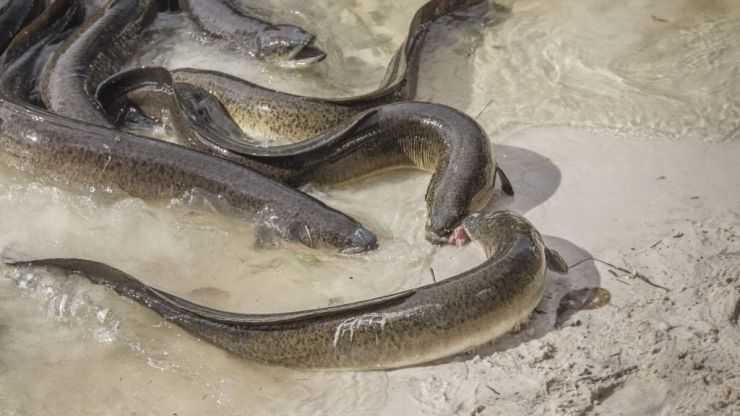 Thames eels made 'hyperactive' by high cocaine levels