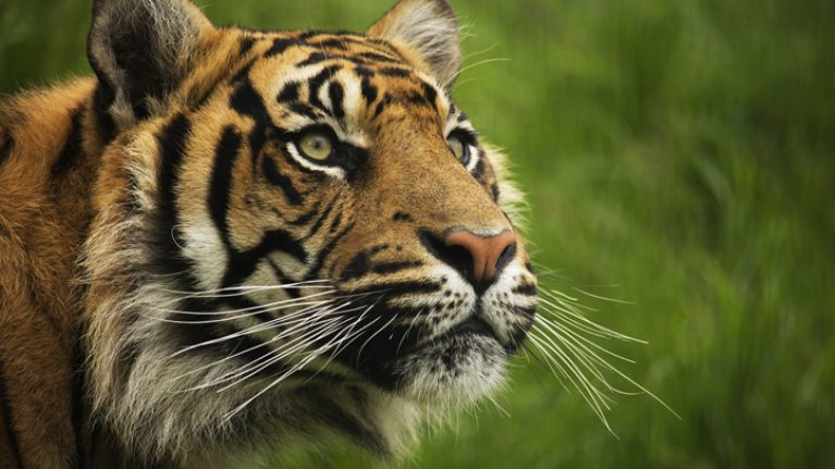 New tiger introduced to London Zoo immediately kills its mate