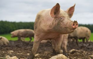 Minister warns people about bringing ham products into country amid swine fever fears