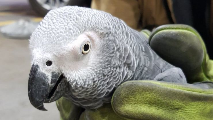 PICS: Dublin Airport has finally reunited the Slovak-speaking parrot with her owner