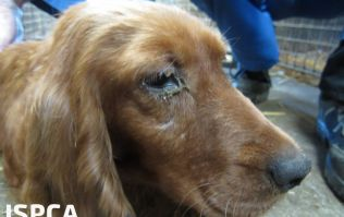 Irish puppy farmer sentenced to three years in jail and banned from keeping dogs for life