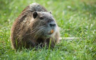"Dubliners warned about ""large invasive rodent"" with bright orange teeth"