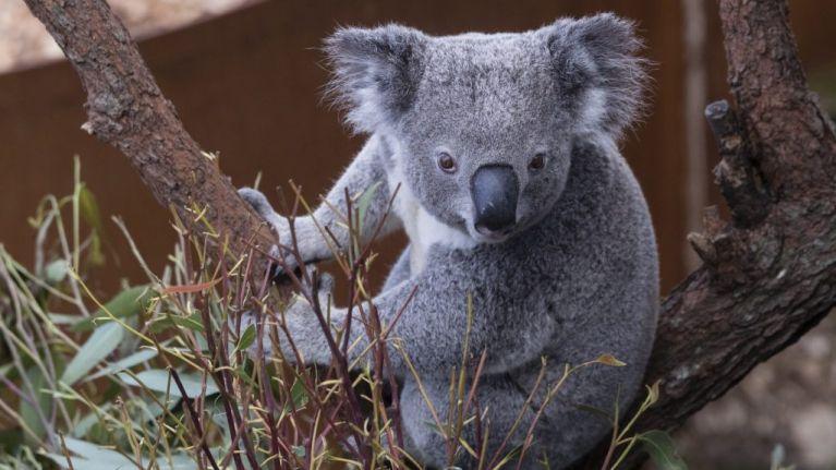 Koalas 'functionally extinct' after bushfires destroy 80 percent of habitat