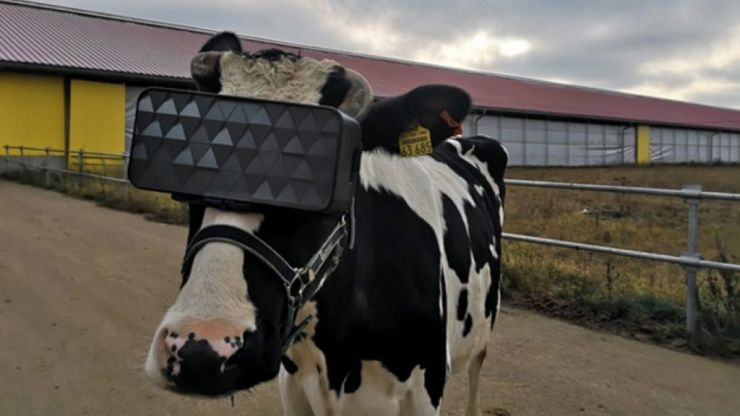 "A Russian farm is giving VR headsets to dairy cows to ""reduce anxiety"""