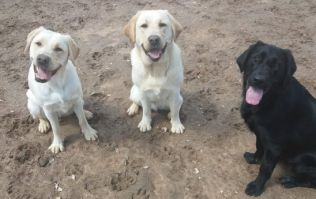 Temporary homes needed for training for guide dogs