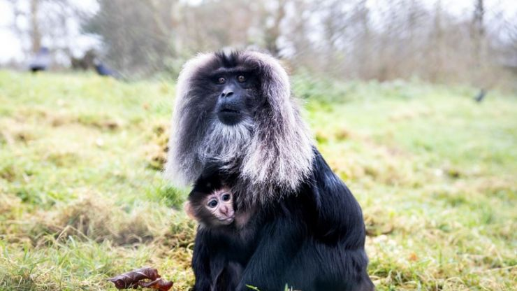 Fota Wildlife want your help in naming two new endangered monkey babies