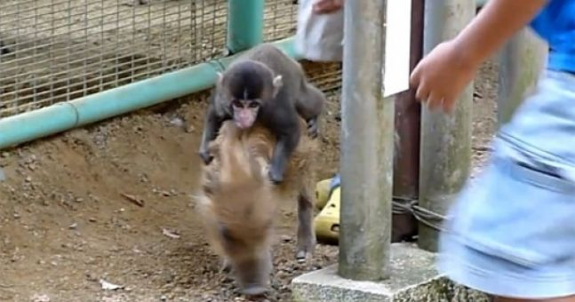 Boar-riding monkey attacked by raccoon in Japanese zoo