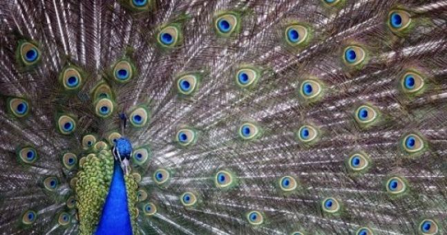 One month after snake escape, female peacock flees Bronx Zoo