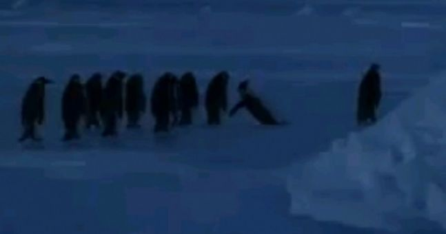 Video: Group of penguins express concern for fallen comrade in hilarious clip