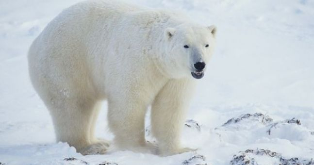 Video: Polar bear tries to eat BBC cameraman for lunch