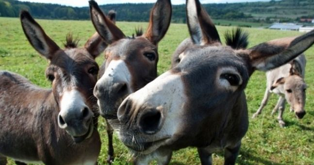 The horse meat found in beef products may be donkey