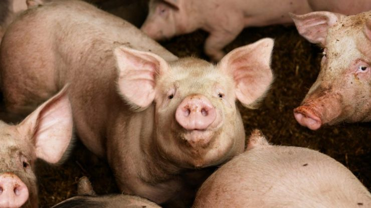 """New swine flu with """"pandemic potential"""" found by researchers in China"""