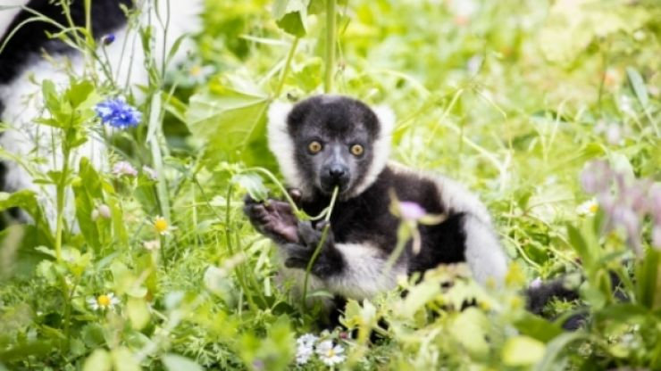 Two critically endangered lemurs born at Fota Wildlife Park