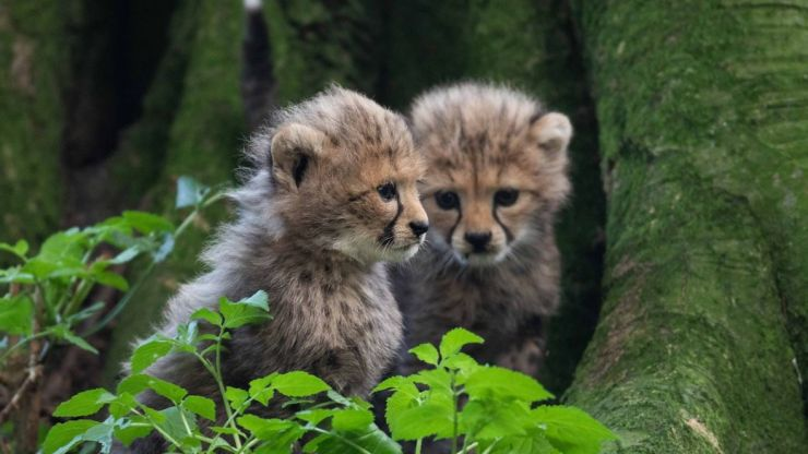 Three endangered cheetah cubs born at Fota Wildlife Park in Cork