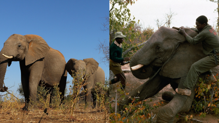 Zimbabwe to sell endangered elephants for hunts to raise money lost during Covid