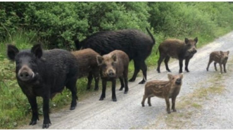 Search continues for large male boar on the loose in Kerry as public urged to be on alert