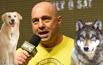 Joe Rogan hilariously describes the difference between fighting a wolf and a dog